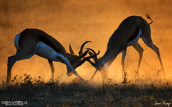 Kalahari duel in the dust
