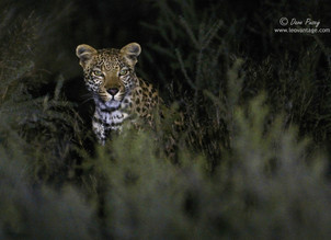 New Leopard for the Kgalagadi Leopard Project