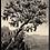 Thumbnail: Carubba Tree (Ravello)