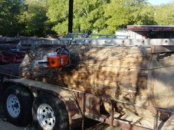 Cottonwood, 40 inch104.JPG