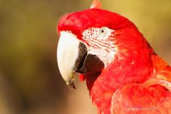 Arara Vermelha - Pantanal - Brasil