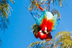 Araras vermelhas namorando -Pantanal