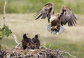 s-white-taileg_eagles.jpg