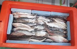 Cara menggunakan ice pack untuk ikan