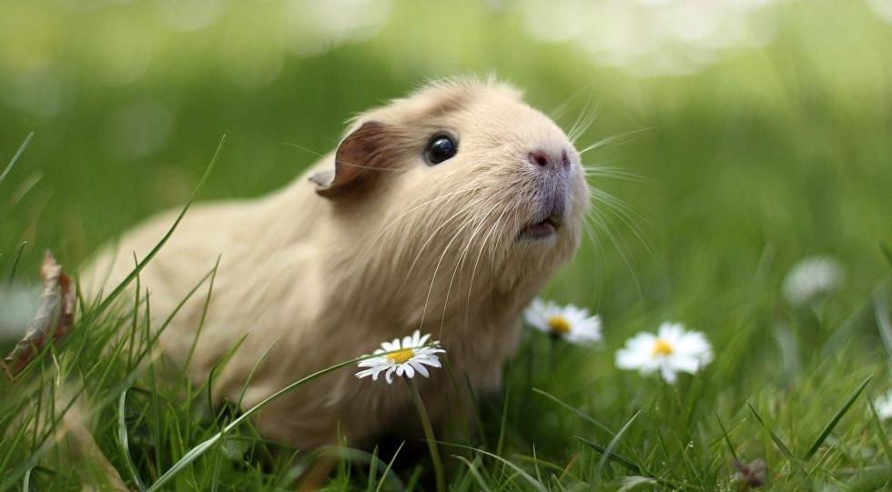 cochon d'inde.jpg