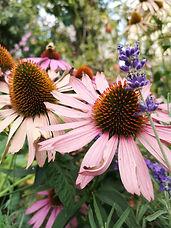 Echinacea-flower-nature-art-inspiration-