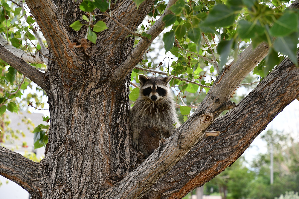 Raccoon demonstrating why you should not feed wildlife.