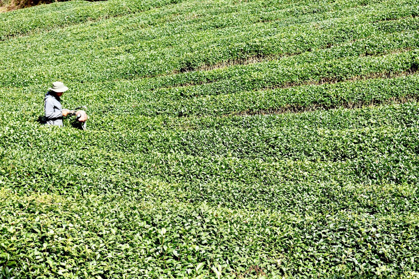 和束茶畑.jpg