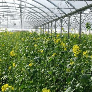 Nourrir le sol: fertilisation organique sous tunnels à la ferme des authieux