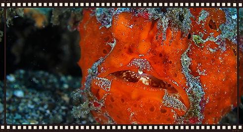 tudsefisk, frogfish, dykning, scuba,dykkerrejse, dykkermaske