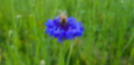 bee on blue flower.jpg