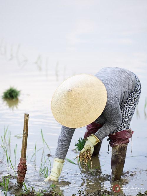Rice Field Series