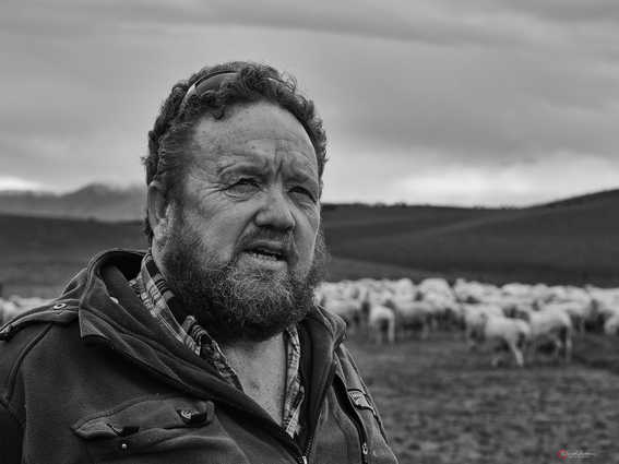 Tending Sheep