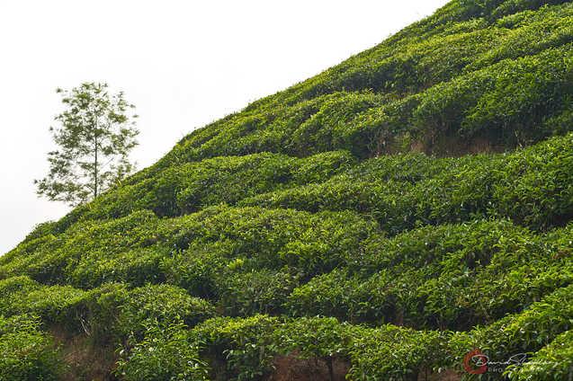 Hillside Tea Plants