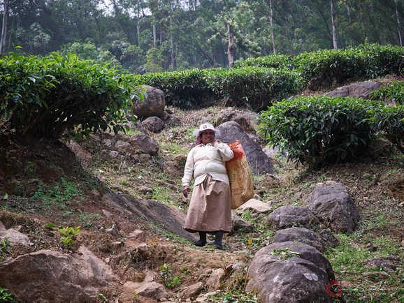 Woman Harvesting Tea