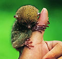 tarsier01.jpg