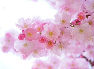Nadine japanese-cherry-trees-324175.jpg