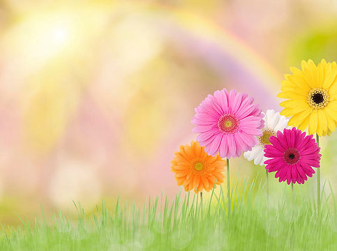 gerbera-daisies-in-a-field-with-rainbow-