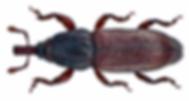 woodworm Watford woodboring weevil