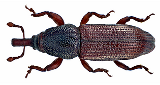 woodworm Watford woodboring weevil