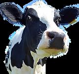 cow-head-png-hd-png-cow-head-pluspng-com