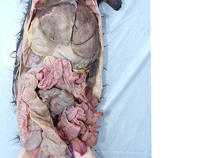 rabbit-abdominal-cavity-U.jpg