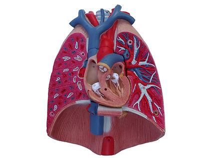 Model-Heart,-frontal-section-U.jpg