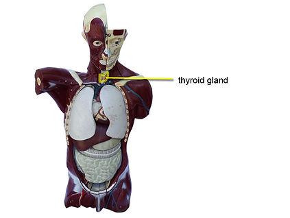 model-thyroid-1-L.jpg