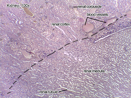 Kidney-100x-L.jpg