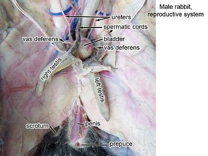rabbit-male-reproductive-L.jpg