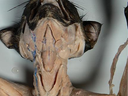 cat-salivary-glands-U.jpg