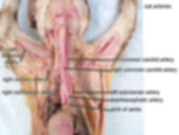 cat-arteries-brances-of-aorta-L.jpg