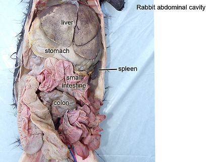 rabbit-abdominal-cavity-L.jpg