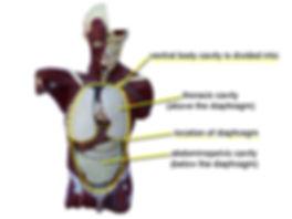 Ventral body cavity