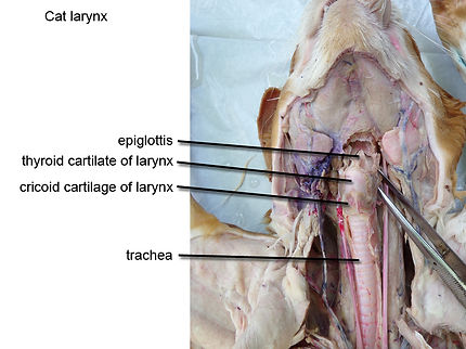 cat-larynx-anterior-view-L.jpg