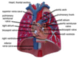 Model-Heart,-frontal-section-L.jpg