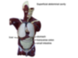 model superficial-abdominal-cavity-L.jpg