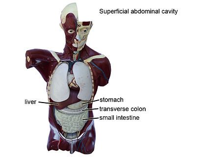 model superficial-abdominal-cavity-L.jpg