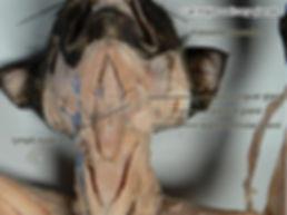 cat-salivary-glands-L.jpg