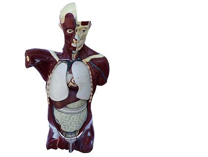 model-thyroid-1-U.jpg