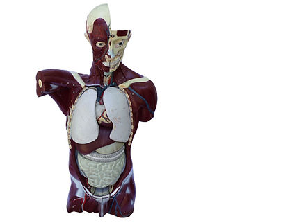 model superficial-abdominal-cavity-U.jpg