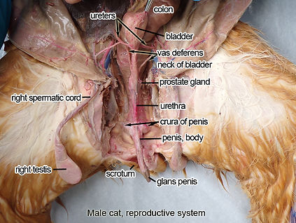 cat-male-reproductive-L.jpg