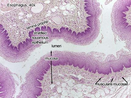 esophagus-40x-L.jpg