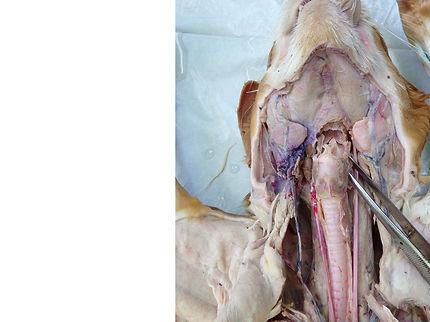 cat-larynx-anterior-view-U.jpg