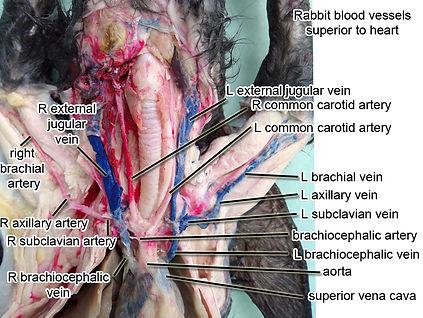 rabbit-blood-vessels-above-heart-L.jpg