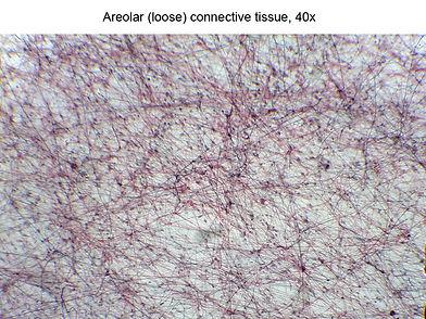 Areolar  (40x)
