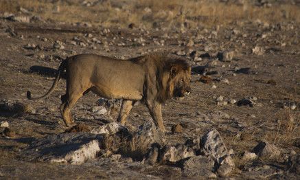Namibian Lion.