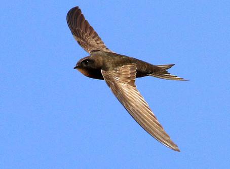 Hampshire Swift Survey