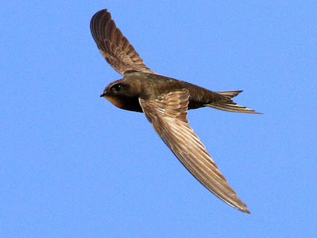 Hampshire Swift Survey