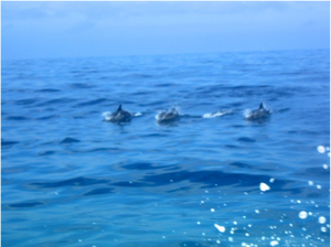 Dolphins in the channel spotted from the USC Miss Christi. Photo by Richelle Tanner.